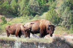 Bison två på klippan Arkivfoton