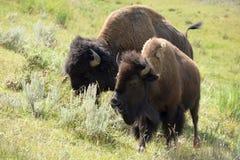 Bison. Two bison walking on green pasture Stock Photos