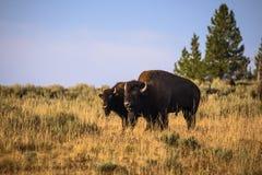 Bison und Kalb lizenzfreie stockfotos