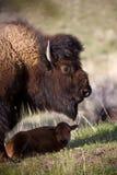 Bison und Kalb Stockbilder