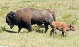 Bison und kleines Kalb Lizenzfreies Stockbild