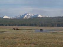 Bison und Mt holmes stockfotos