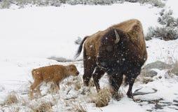 Bison und neugeborenes Kalb im Schnee stürmen, Yellowstone Nationalpark Stockbild