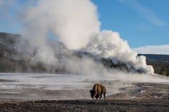 Bison und riesiger Geysir Lizenzfreies Stockbild