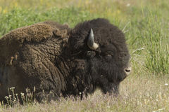 Bison up close. Stock Images