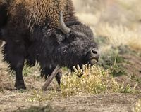Bison using a scratching post. Bison using a metal post to scratch his cheek Grand Teton National Park, Wyoming, USA royalty free stock images