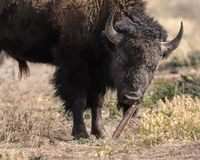 Bison using a tool. Bison scratching his chin on a metal post Grand Teton National Park, Wyoming, USA stock image