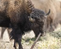 Bison using a utensil. Bison scratching his cheek on a metal post Grand Teton National Park, Wyoming, USA royalty free stock photos