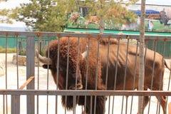 bison utanför staketet Arkivbild