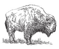 Bison vector hand drawing illustration Stock Photography