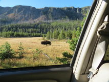 Bison viewed from the car Stock Photo
