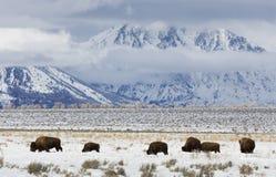 Bison vinter, storslagen Tetons nationalpark arkivfoto