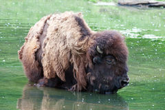 Bison wading Royalty Free Stock Photos