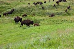 Bison Walking Across de Prairie royalty-vrije stock fotografie