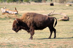 Bison. A bison walking around by it self Stock Photo