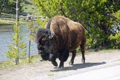 Bison Walking royalty free stock photography