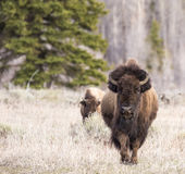 Bison walking forward in grass with tree background Royalty Free Stock Photos