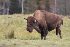 Bison walking through a grassy meadow Royalty Free Stock Photography