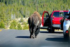 Bison walking in street Stock Photo