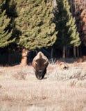 Bison. Walking towar the camera early spring stock photo