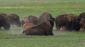Bison Walks in Front of Herd