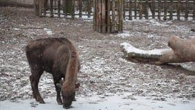 Bison walks under snowfall stock video footage