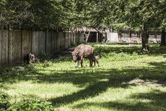 Bison walks in the yard, Bialowieza National Park Stock Photos