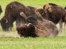 Bison Wallows in Dry Dirt Patch royalty free stock photo