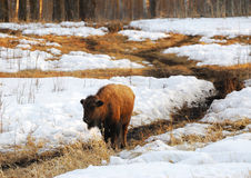 Bison wandering on snow land. Wild bison wandering on snow land in spring, elk island national park, alberta, canada Royalty Free Stock Photo