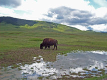 Bison Beside Water Stock Photo