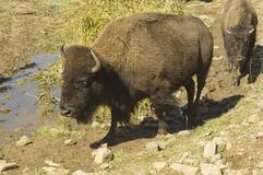 Bison at the waterhole. Large bison or buffalo at a muddy waterhole Royalty Free Stock Images