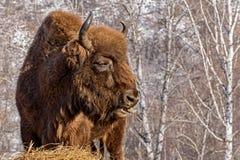 Bison wild mammal portrait hay Royalty Free Stock Image
