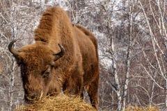 Bison wild mammal portrait hay Stock Photos