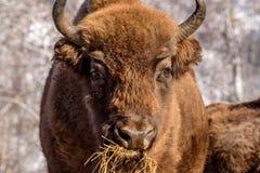 Bison wild mammal portrait hay Royalty Free Stock Photo