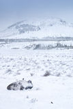 Bison in Winter. Yellowstone bison hunker down to survive during a spring blizzard royalty free stock photography