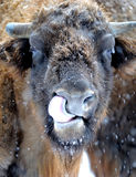 Bison in winter Royalty Free Stock Photo