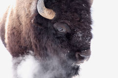 Bison in winter Stock Photography
