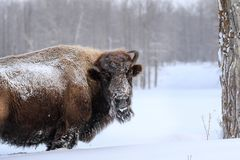 Bison in Winter. Cold and frosty Bison makes his way in  the deep snow Royalty Free Stock Photos