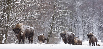 Free Bison Winter Day In The Snow Royalty Free Stock Photo - 64611325