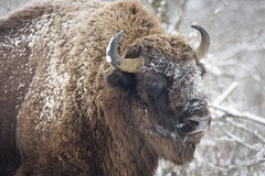 Free Bison Winter Day In The Snow Royalty Free Stock Images - 64611429