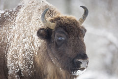 Free Bison Winter Day In The Snow Royalty Free Stock Photography - 64611437