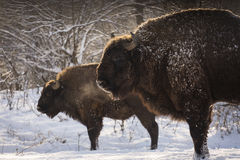 Free Bison Winter Day In The Snow Royalty Free Stock Photo - 64611555