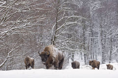 Bison winter day in the snow Royalty Free Stock Images