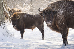 Bison winter day in the snow Royalty Free Stock Image