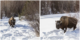 Bison winter snow Yellowstone Park collage stock photo