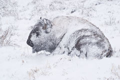 Bison in Winter Storm. Yellowstone bison hunker down to survive during a spring blizzard royalty free stock photos