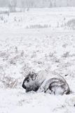 Bison in Winter Storm. Yellowstone bison hunker down to survive during a spring blizzard stock photography