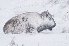 Bison in Winter Storm. Yellowstone bison hunker down to survive during a spring blizzard stock images