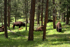 Bison in woods Stock Photos