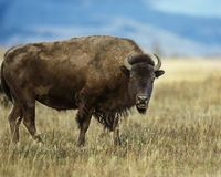 Bison wth his mouth open staring at the camera. Bison giving the photographer a wary stare royalty free stock photo
